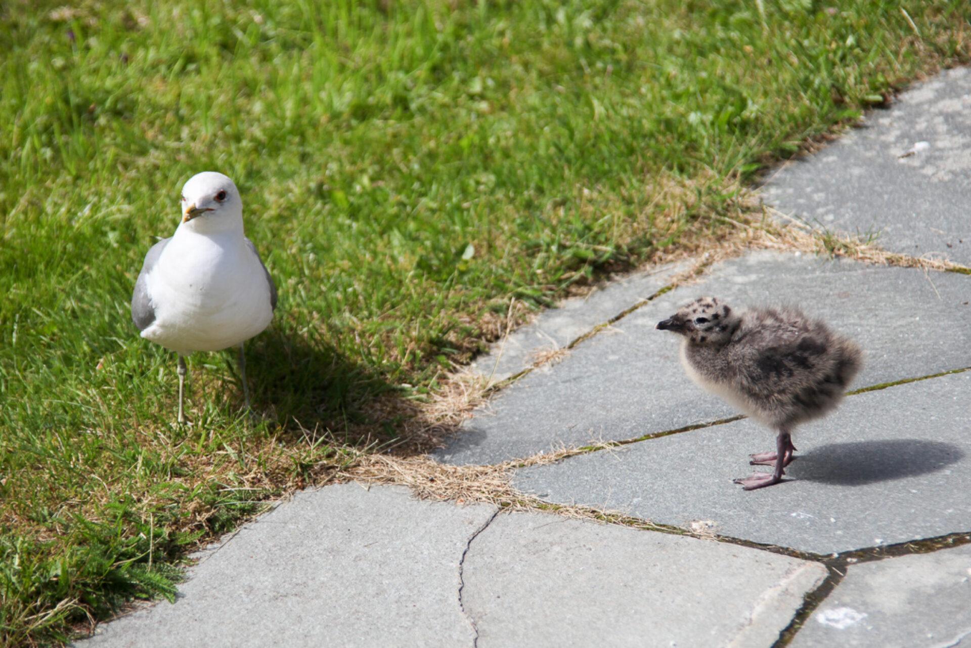 Чайки иихптенцы