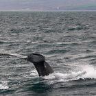 Хусавик инаблюдение загорбатыми китами.