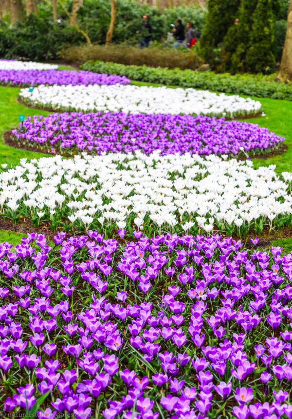 Фестиваль цветов Keukenhof