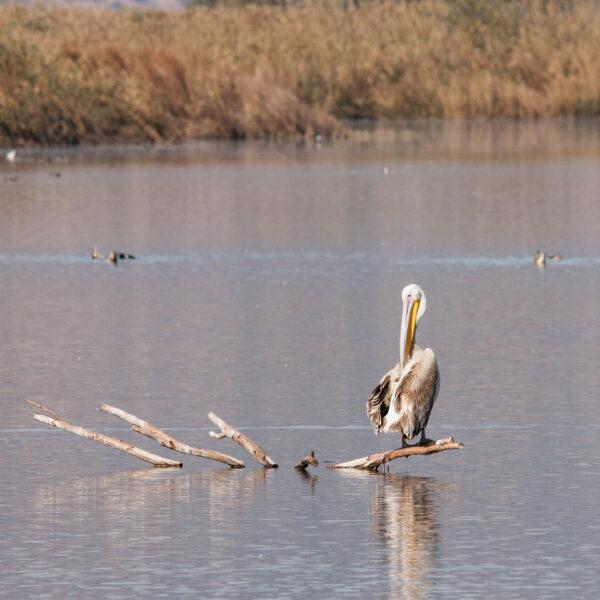 Hula Lake— Заповедник Хула, Израиль.