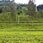 Чайные плантации.